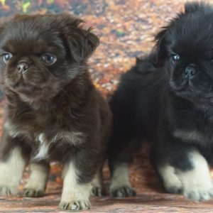 2 Longed Haired Pugs