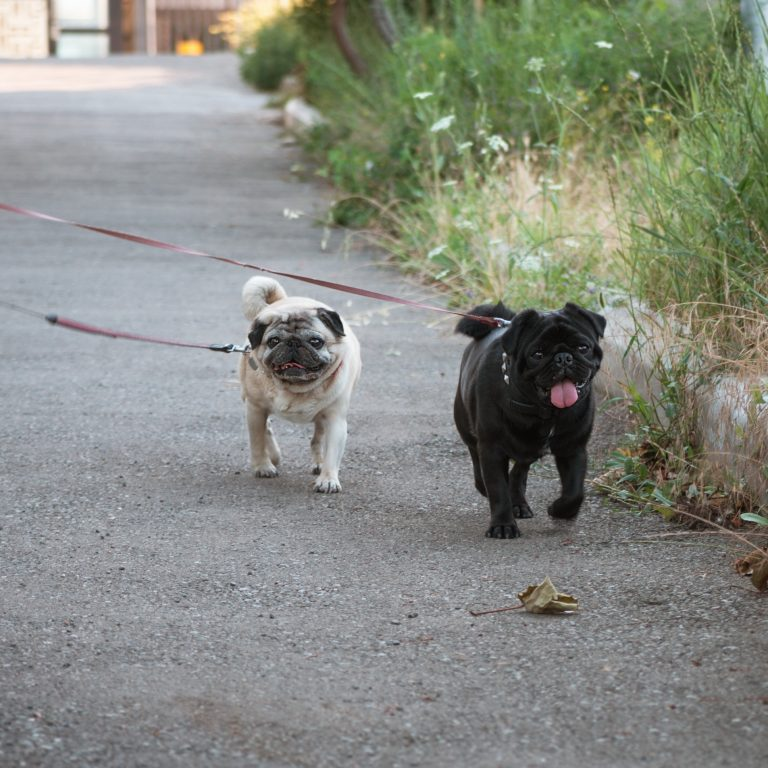 2 overweight Pugs