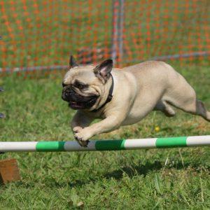 Agility Pug