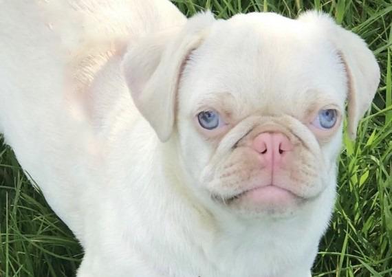 Albino Pug PS