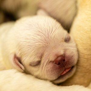 Albino Pug Puppy
