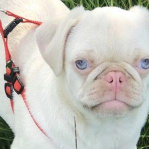 Albino Pug
