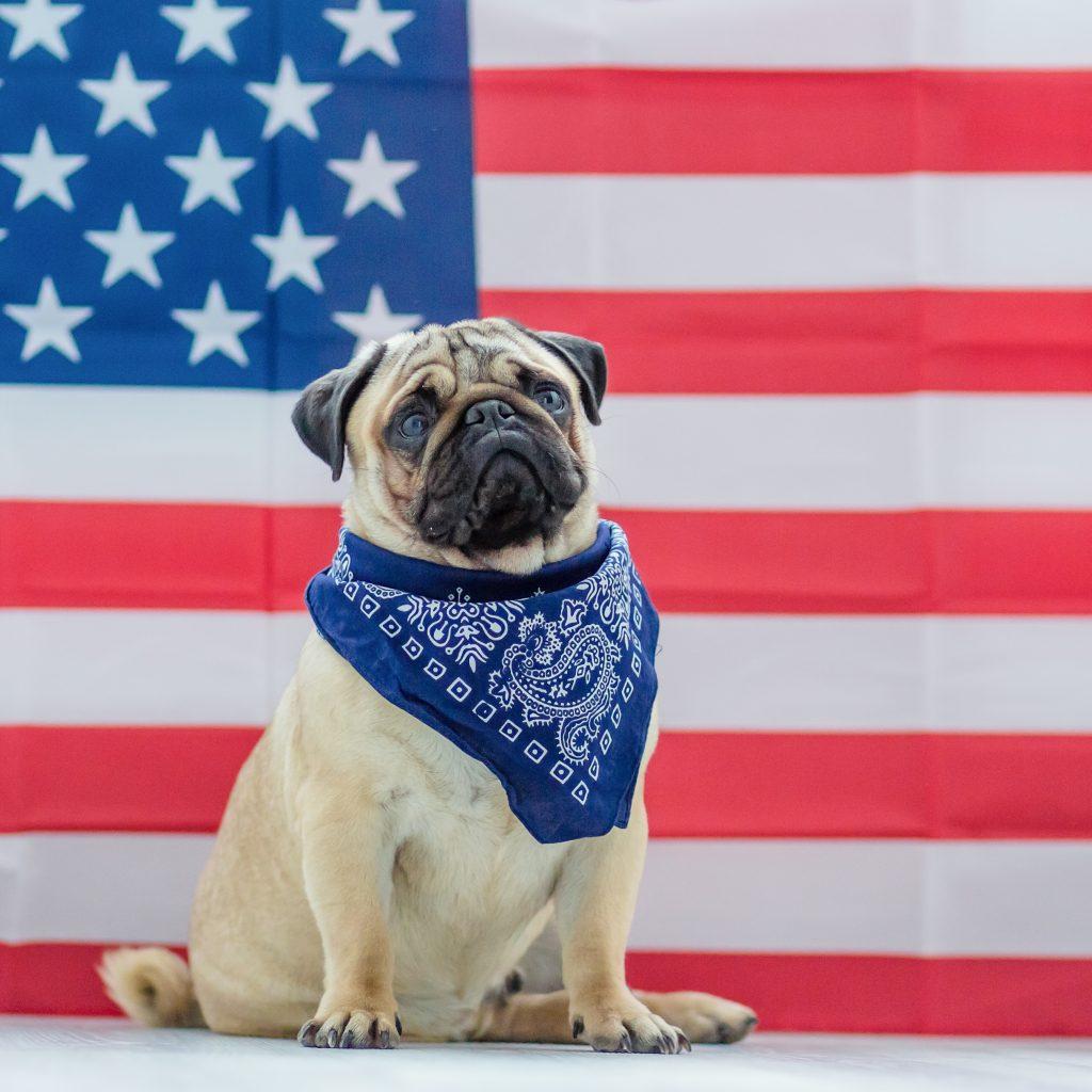 American Flag Pug