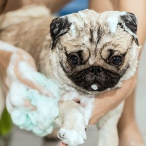 Bath for Pug
