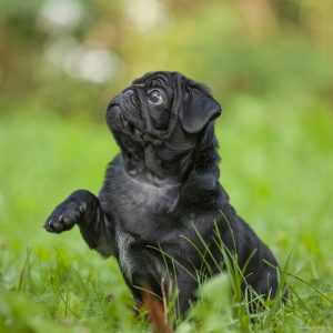 Black Pug Shake