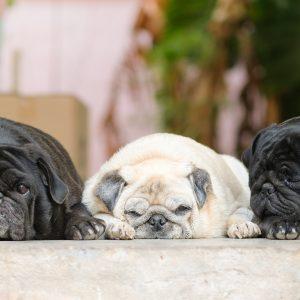 Overweight Pugs