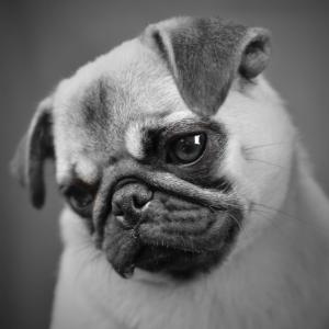 Black and White Pug