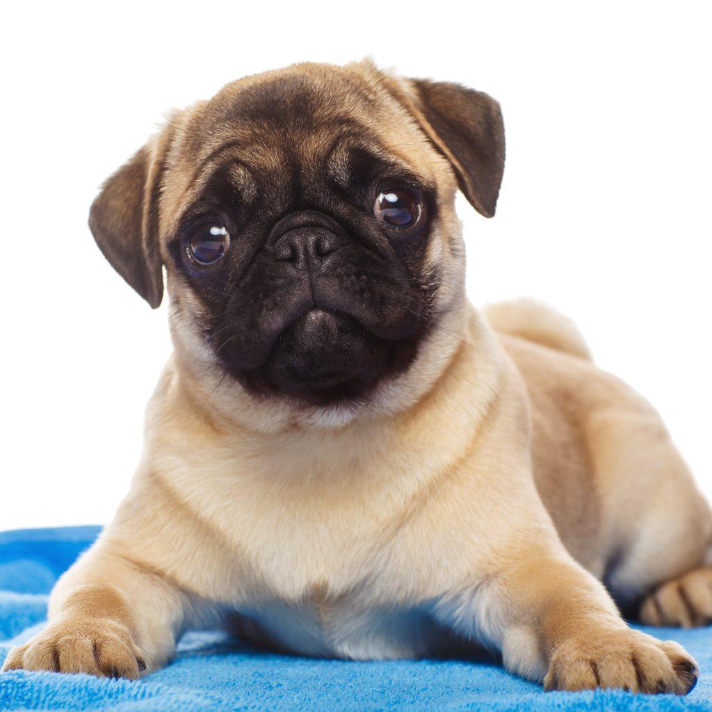 Pug on Blue Blanket