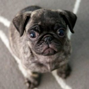 Brindle Pug