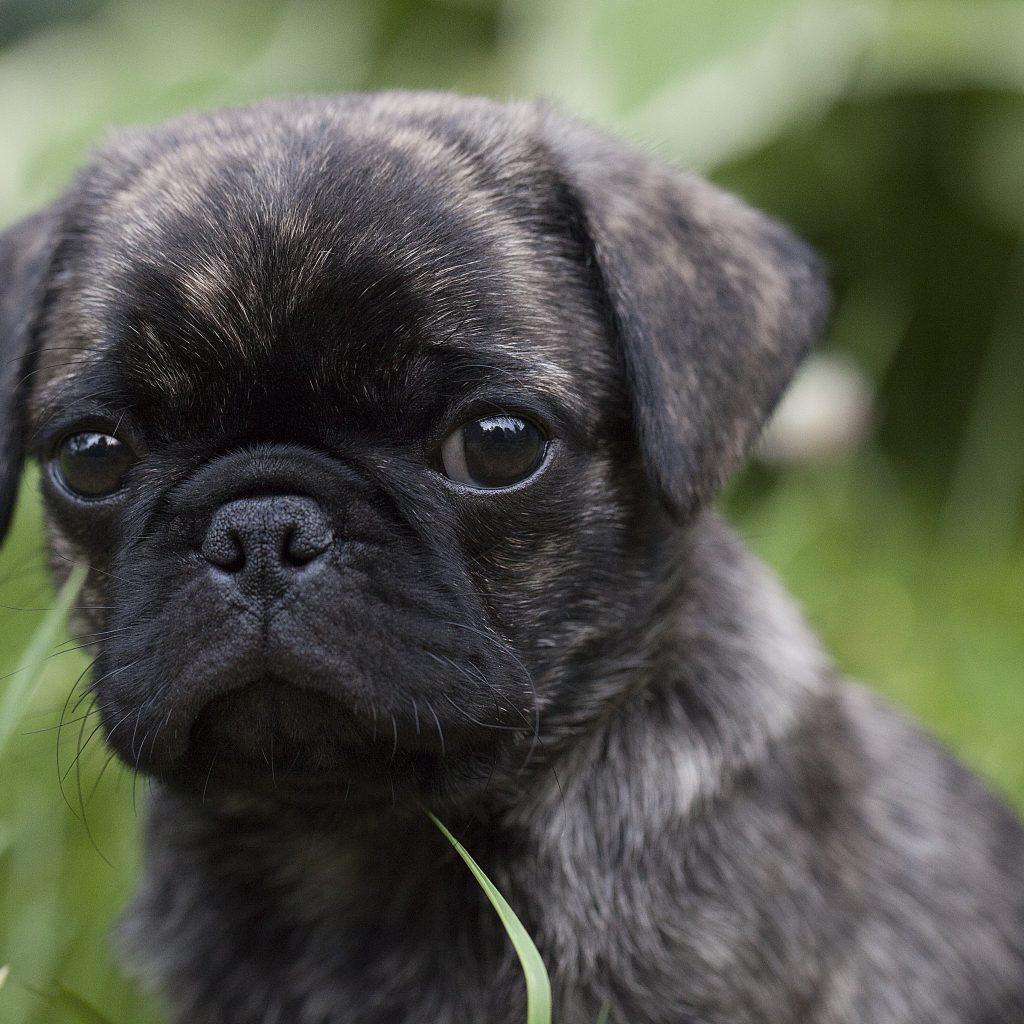 Brindle Pug on Grass
