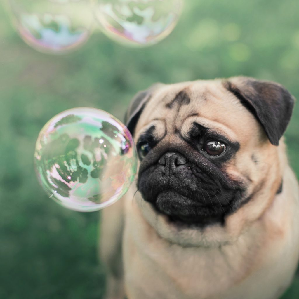 Fawn Pug with Bubbles