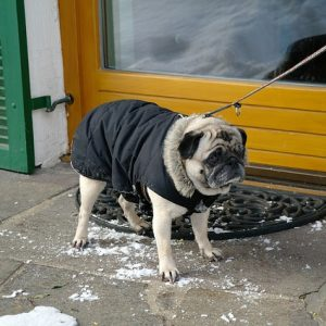 Cold Pug in coat