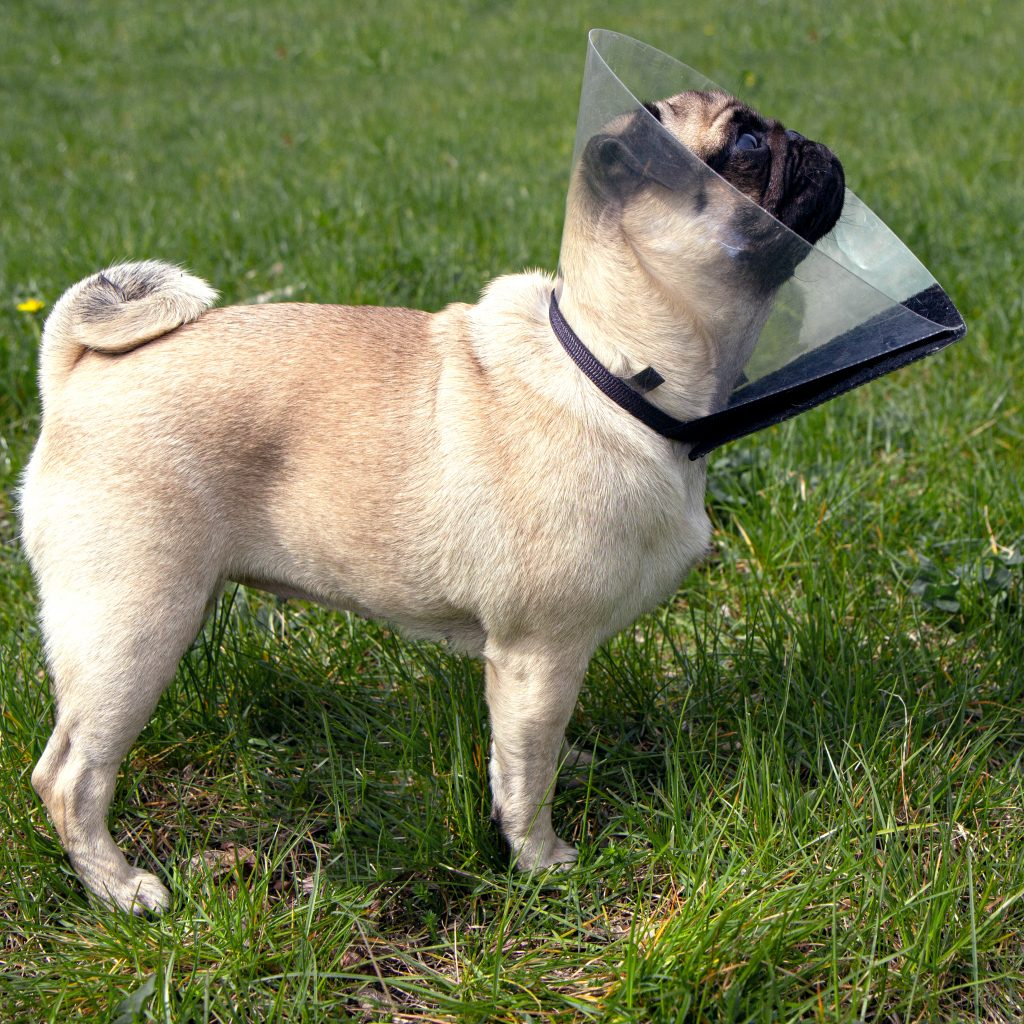 Pug with cone