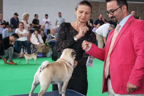 Pug in Dog Show
