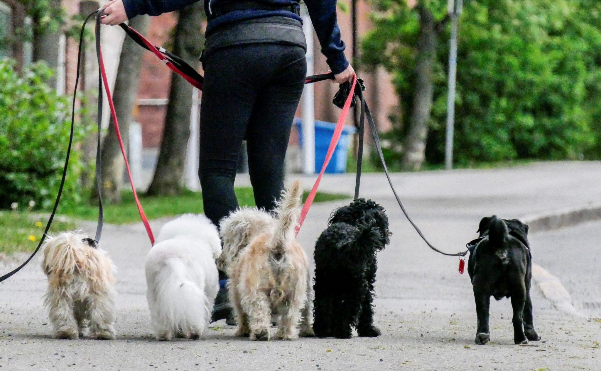 Pug Walking