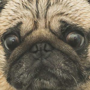 Eyes of Fawn Pug