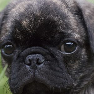Eyes of Brindle Pug