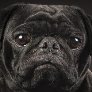 Eyes of Black Pug