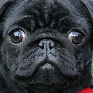 Eyes Black Pug