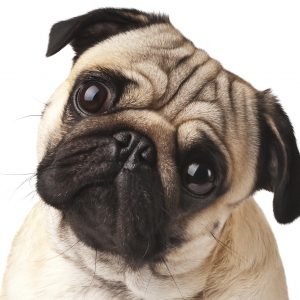 Face of Pug