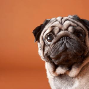 Pug Face on Orange
