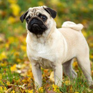 Pug in Fall