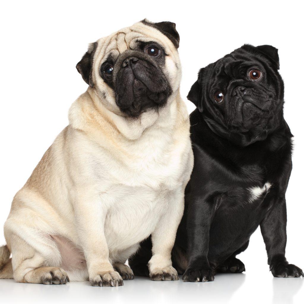 Pug Colors