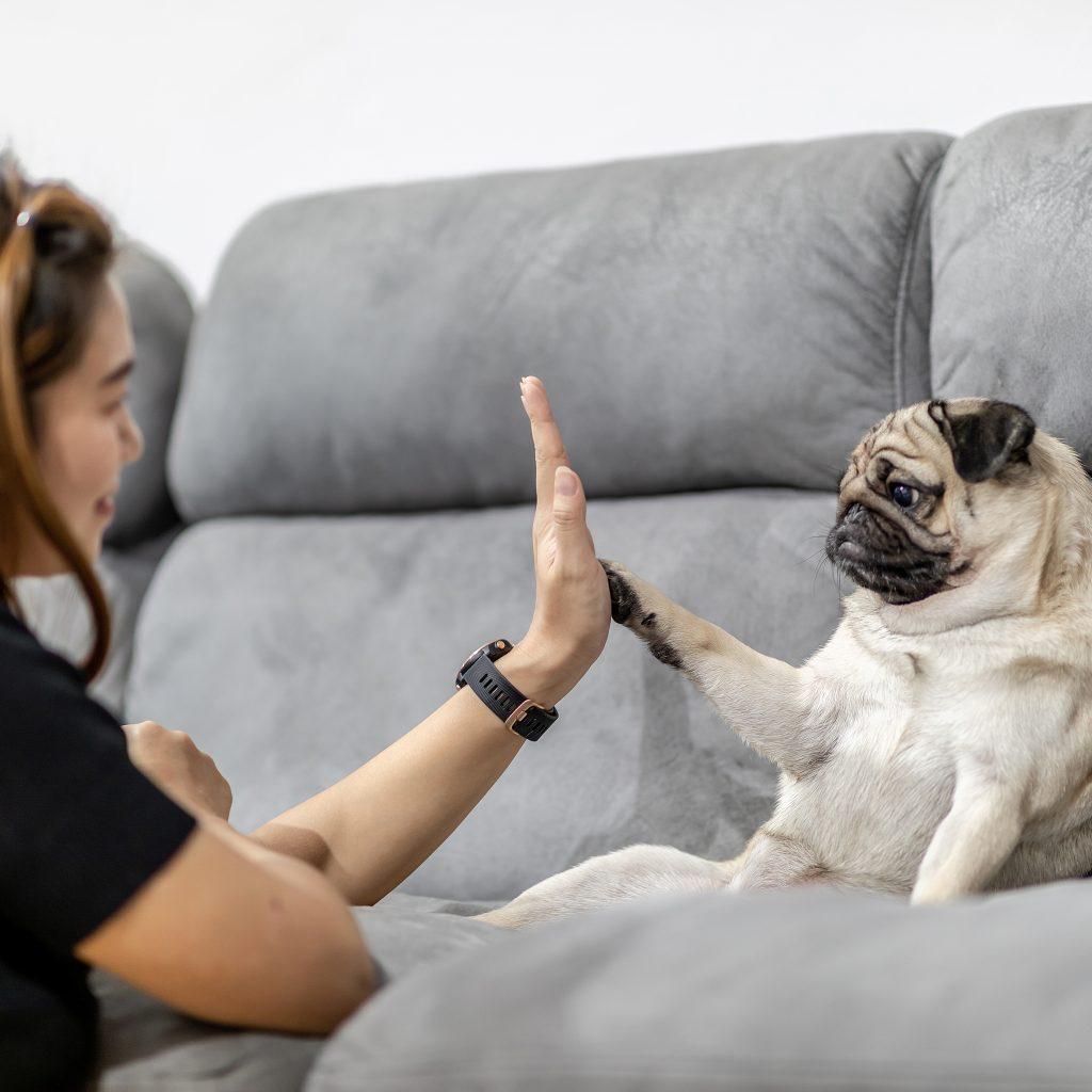 Pug Dog Training