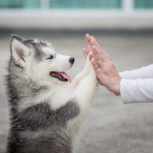 Husky High Five