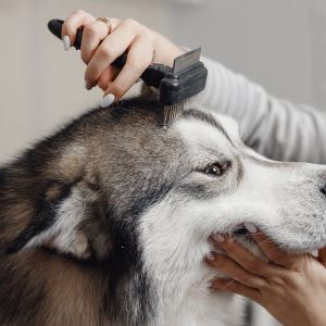 Husky Grooming