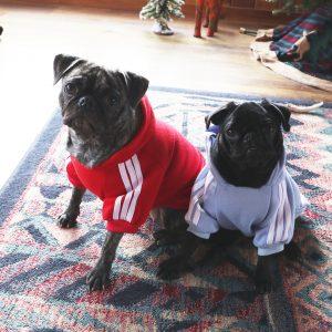 Pugs in Jackets