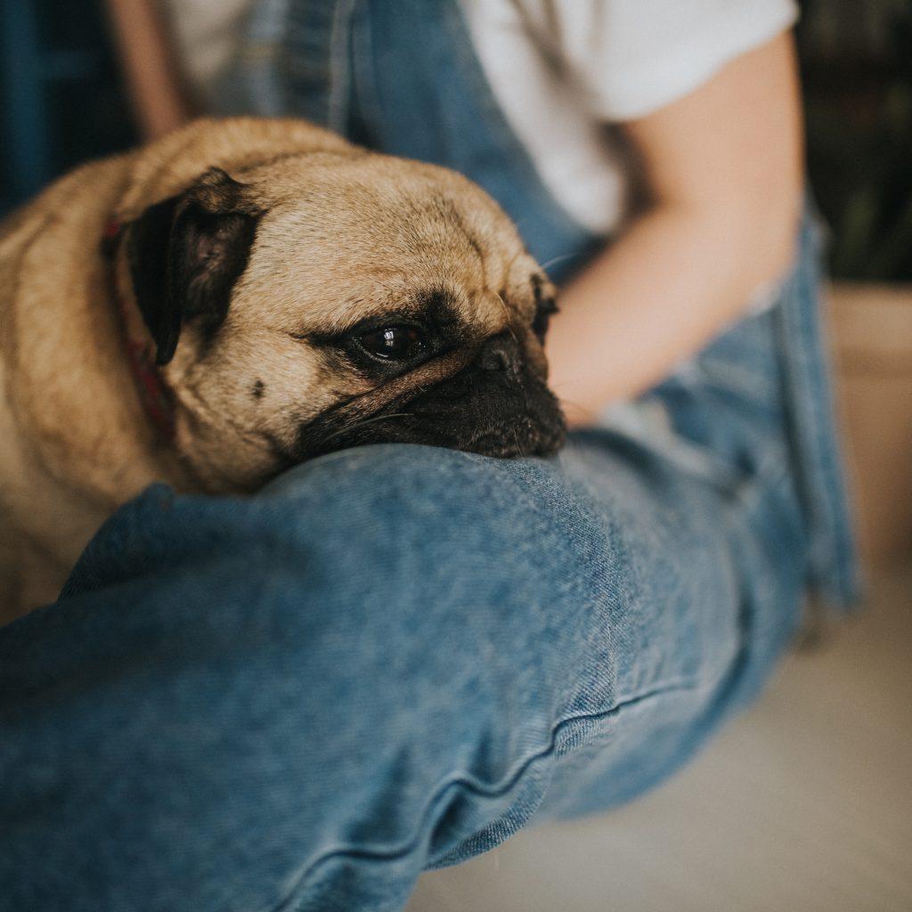 Pug on Jeans