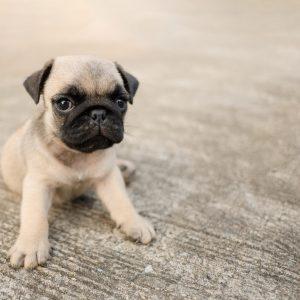 Lone Pug Puppy