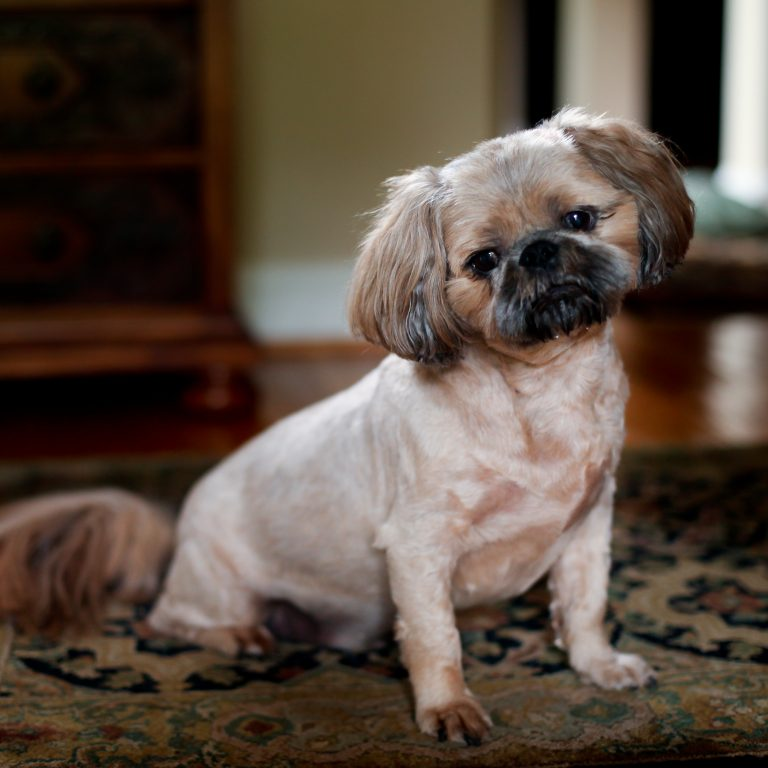 Long haired Pugs