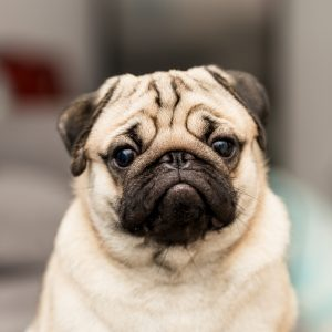 Pug Looking