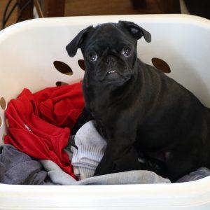 Lulu in Laundry Basket