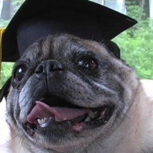 MBA Pug