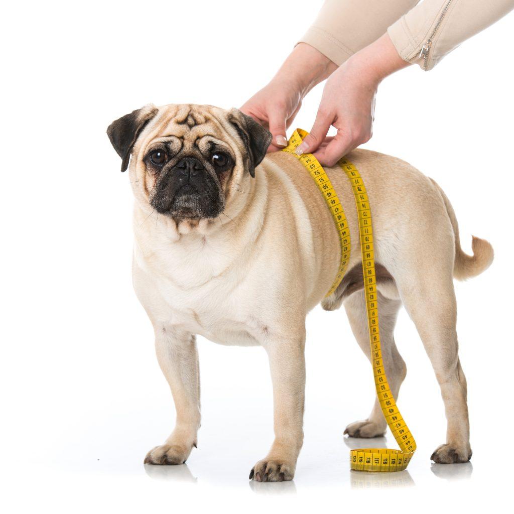 Pug,Is,Measured