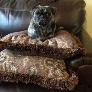 Pug on Pillow