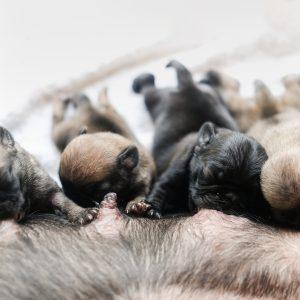 Newborn Pugs Nursing