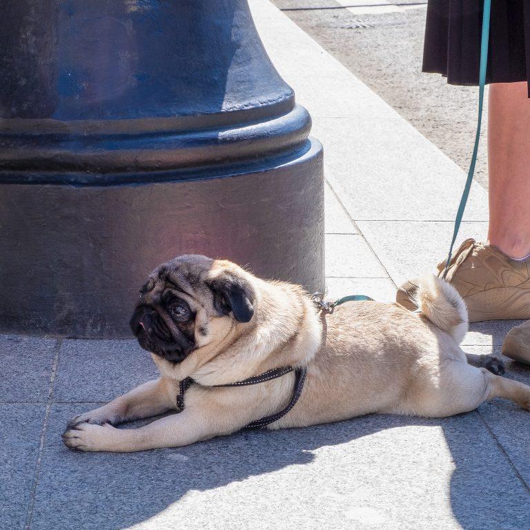 Old Pug Lying Down