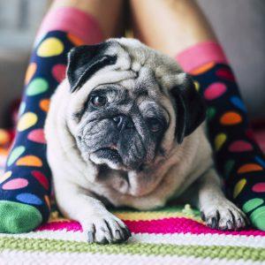 Old Pug with Socks