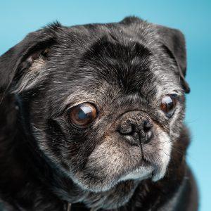 Gray black Pug