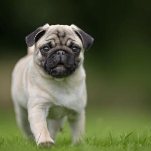 Price of a Pug