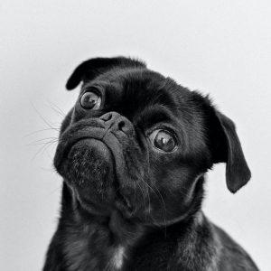 One Black Pug