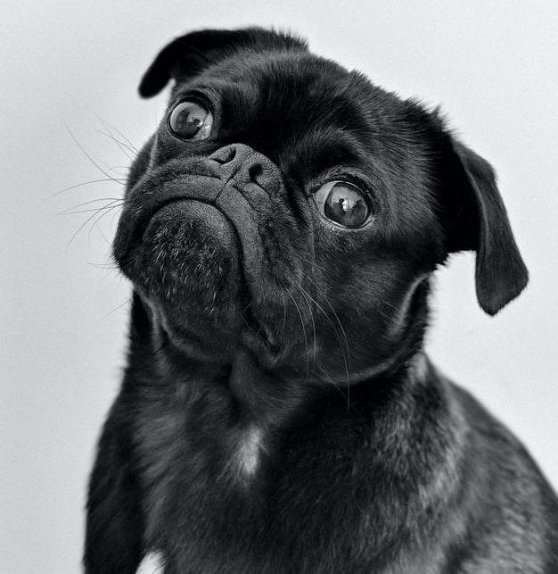 Black Pug Mismark