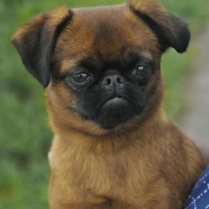 Brown Long Haired Pug