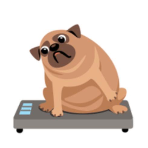 Overweight Pug