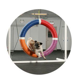 Pug Agility Circle