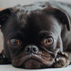 Pug Eyes Upclose